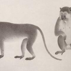 Vervet Monkey Print