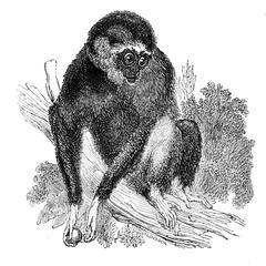 The White-handed Gibbon (Hylobates lar)