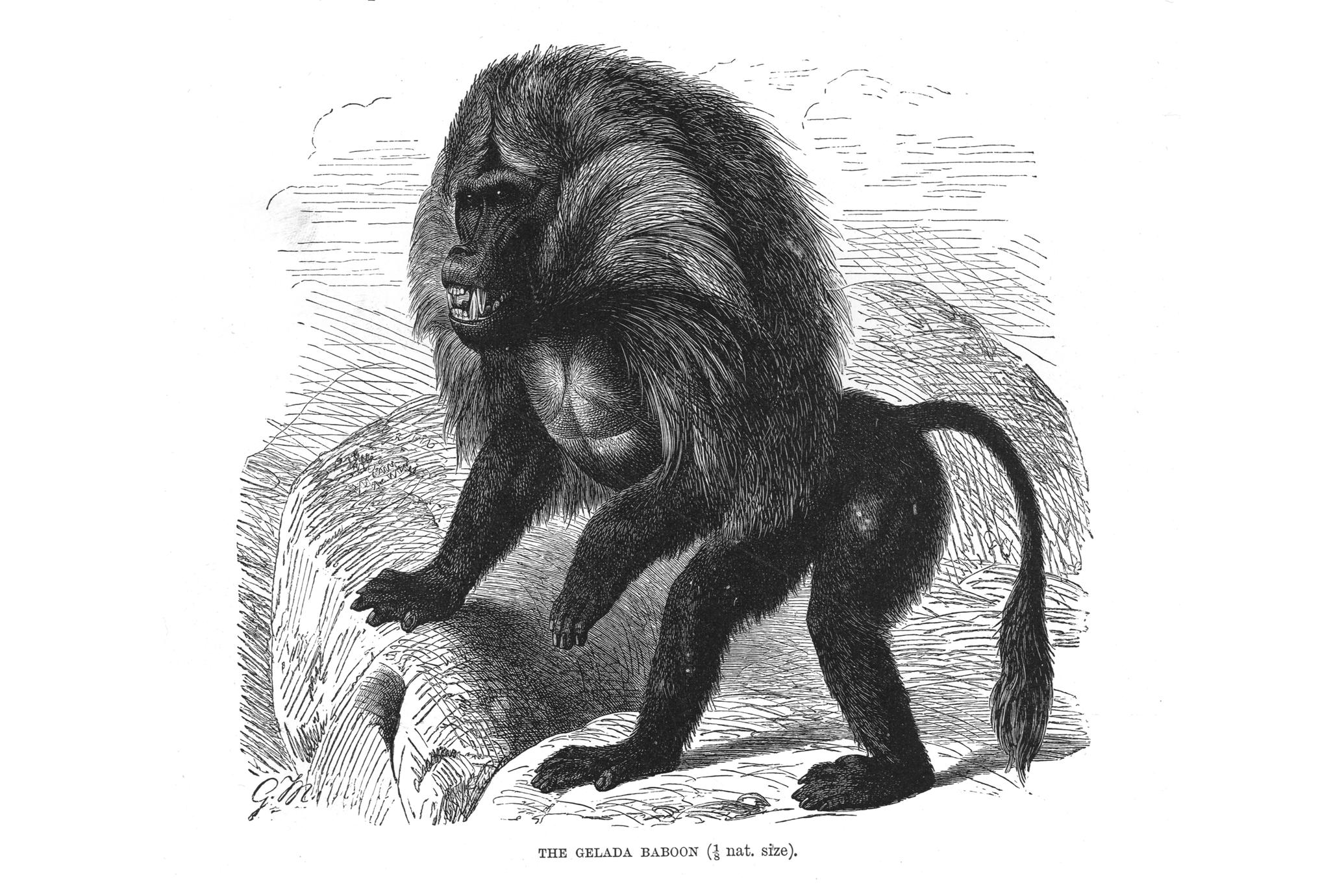 The Gelada Baboon (1/8 nat. size)