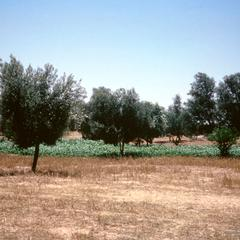 Irrigation Piping, Olive Trees, and Cabbage on Farm in Sabrata Area