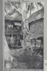 "Man climbing coconut tree to bud for ""tuba"""