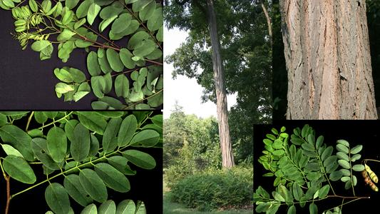 Composite of a branch with thorns, branches without thorns one with fruits, a single tall trunk and detail of the bark of black locust ( Robinia pseudoacacia )
