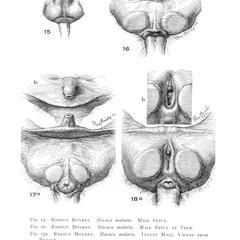 Rhesus Macaque Genitalia Print