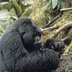 Gorilla beringei beringei