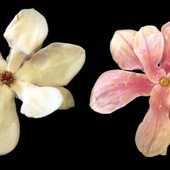 Magnolia X Soulangiana - composite of front and back of flower