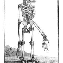 Squelette du Singe de Wurmb (Skeleton of Wurmb's monkey)