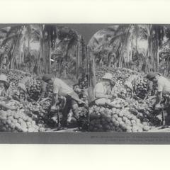 Husking coconuts, Pagsanjan, early 1900s
