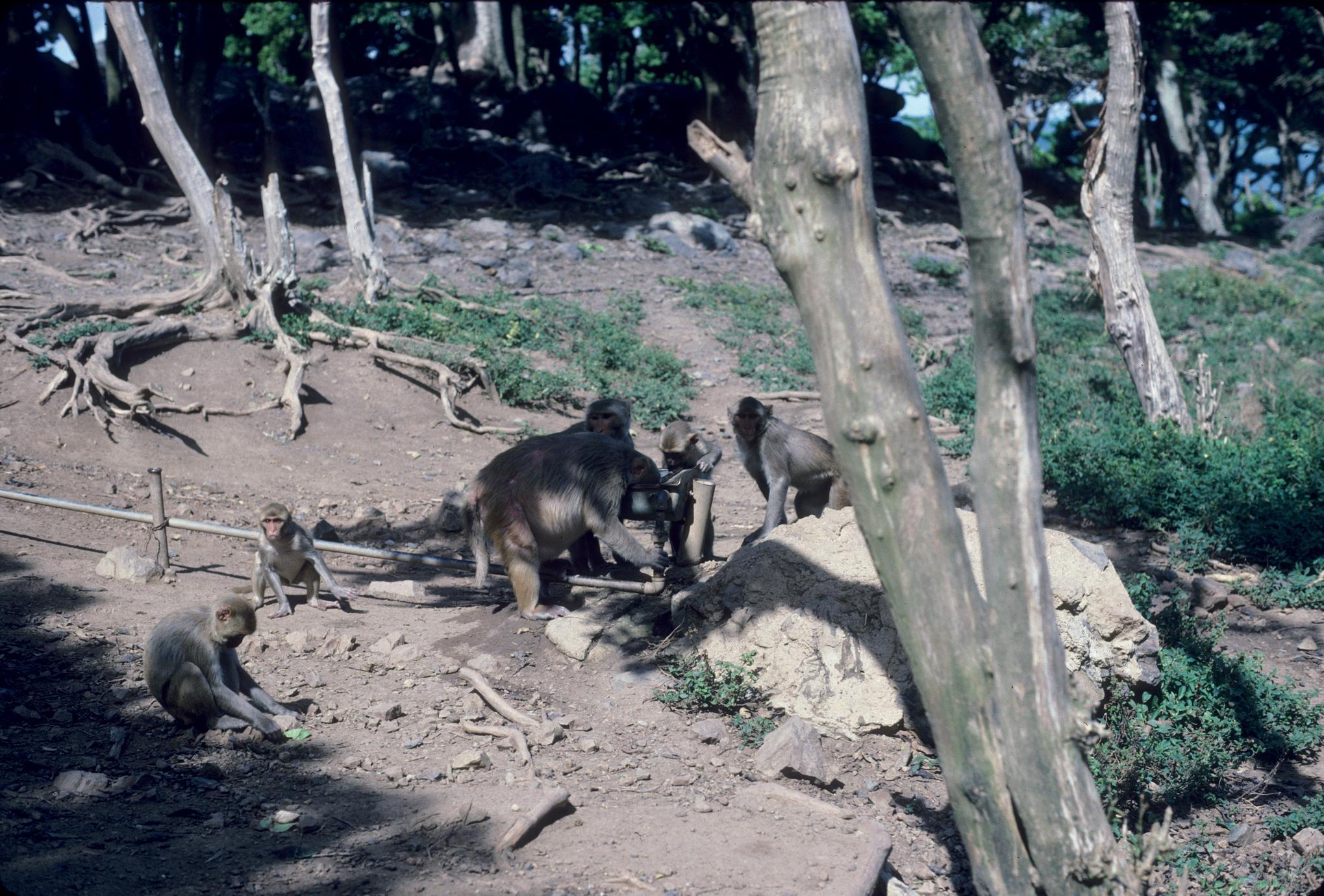 Macaca mulatta