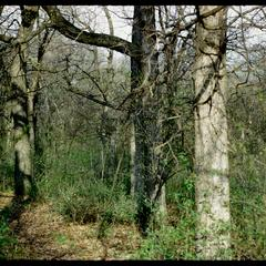 View of white and red oak bark in Noe Woods, University of Wisconsin Arboretum