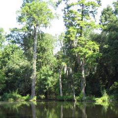 Bald Cypress trees - near Charleston, South Carolina