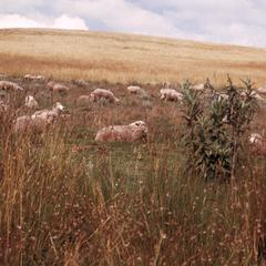 Sheep Grazing near Molo