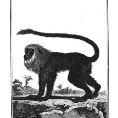 La Guenon a criniere (Guenon with a mane)