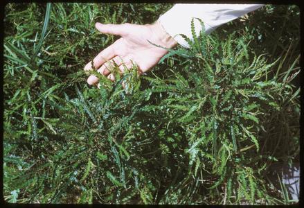Comptonia peregrina, near Black River Falls