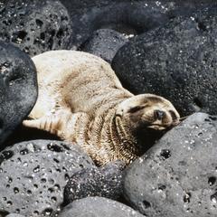 Galápagos Fur Seal (Arctocephalus galapagoensis)