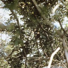 Cebus albifrons