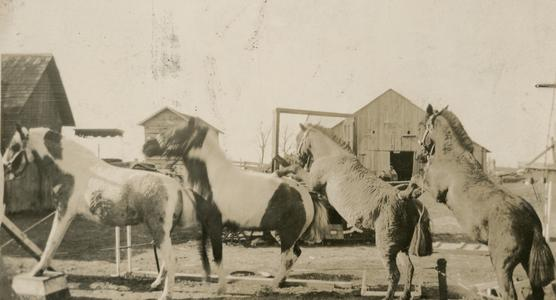 Ponies, animal circus performers