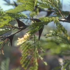 Bull-horn Acacia in calabash savanna