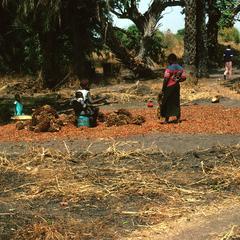 Harvesting Palm Kernels