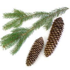 Norway spruce - branch with cones