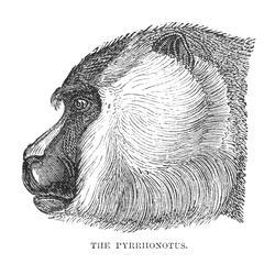 The Pyrrhonotus