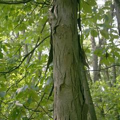 Shaggy bark of Carya ovata