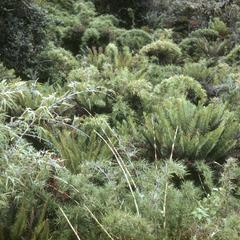 Lomaria tree ferns and Chusquea bamboo