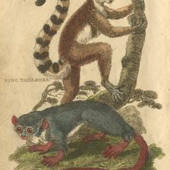 Ring Tail Lemur & Murine Lemur