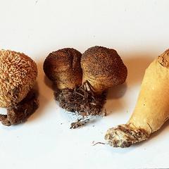 Lycoperdon - puffballs