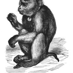 The Burmese Pig-Tailed Monkey (From Sclater, Proc. Zool. Soc., 1860)