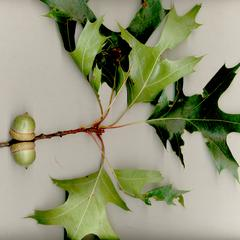 Branch with acorns of black oak