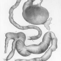 Digestive system of a male Aye-aye