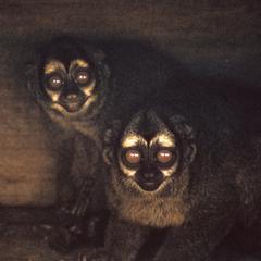 Aotus trivirgatus