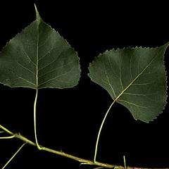 Leaves and internode of Cottonwood
