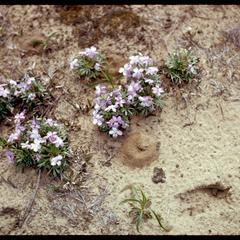 Viola pedata in bloom, Gasser Sand Barren
