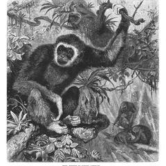 The White-Handed Gibbon.