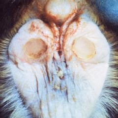 Miopithecus talapoin