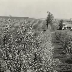 Cornfalfa Farms, Waukesha, orchard in spring