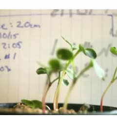 Phototropism - results from a lab exercise 100% light intensity - images integrated into a movie
