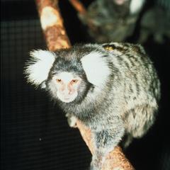 Callithrix jacchus