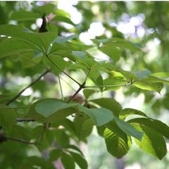 Horsechestnut with oppositely arranged, palmately compound leaves