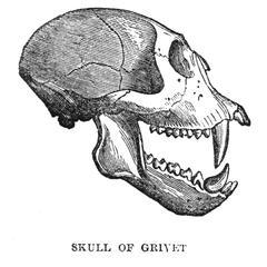 Skull of Grivet