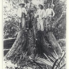 Three Filipino men and American standing atop a large tree stump in the forest, ca. 1900-1902
