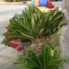 Cycas revoluta plant with last seasons megasporophylls - Saint Augustine, Florida