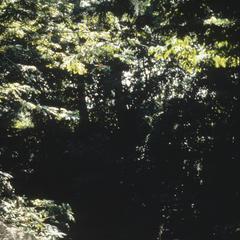 Saguinus oedipus