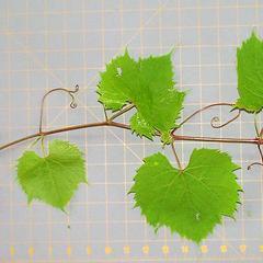 Shoot of Vitis riparia