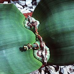 Shoot apex of Welwitschia mirabilis