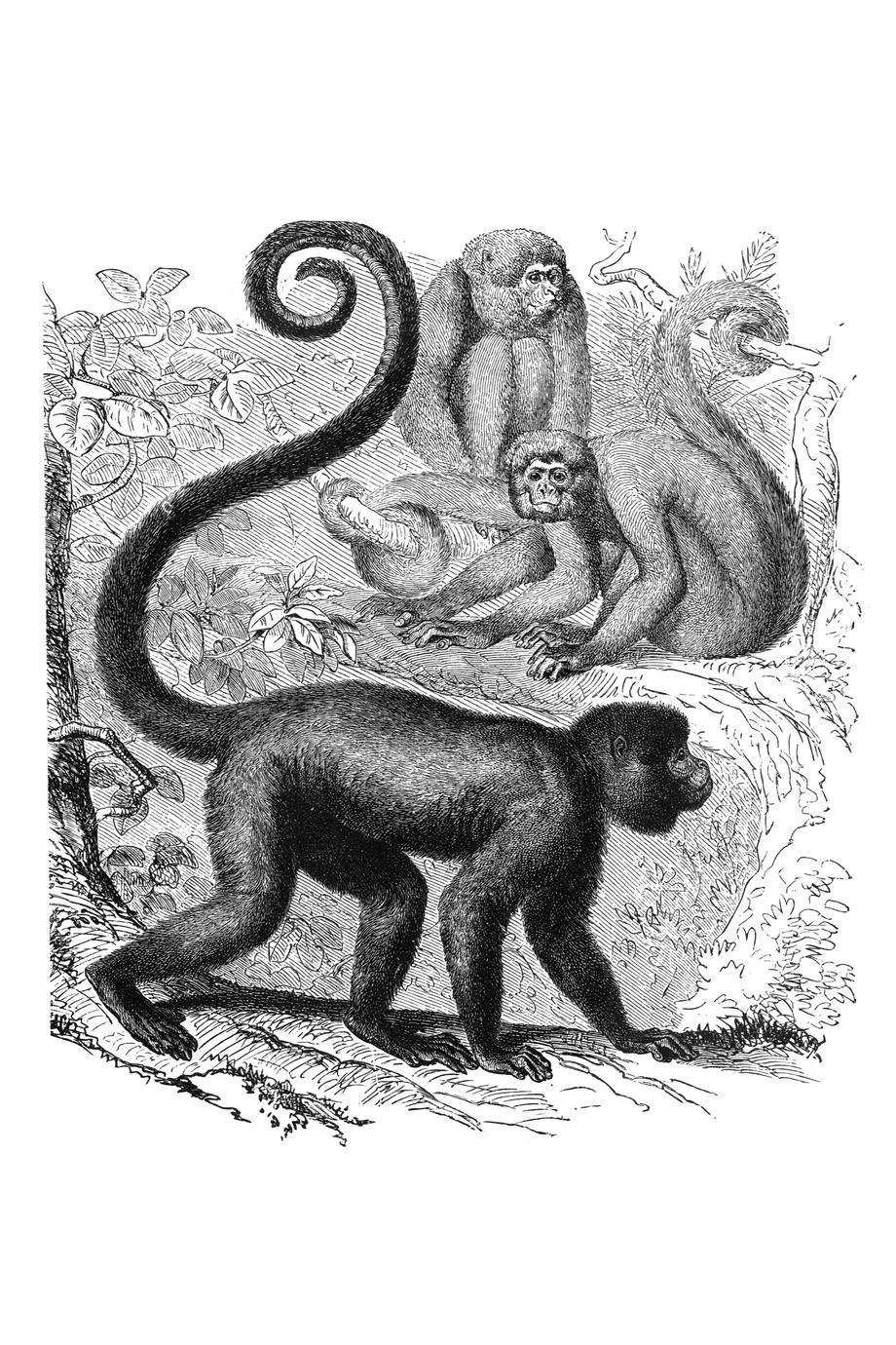 Brown Woolly Monkey Print