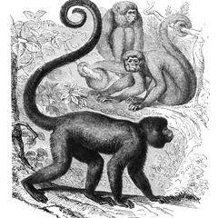 Brown Woolly Monkey Print