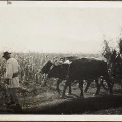 Ein Ochsengespann in Serbien