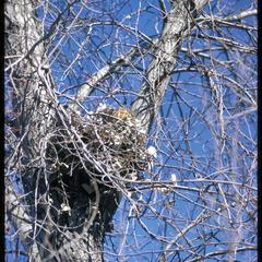 Squirrel leaf nest in a tree in winter